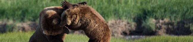 Dua Ekor Beruang